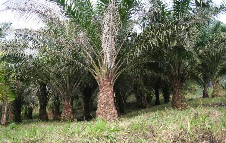 palmafricana